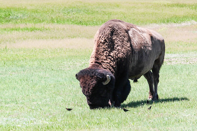 Bison - Badlands Naitonal Park