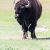 Bison - Badlands Naitonal Park