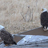 Bald Eagles at local dump.