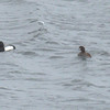 Greater Scaup have grayer back compared to Tufted Duck.