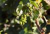 Bogle7715_Grapes