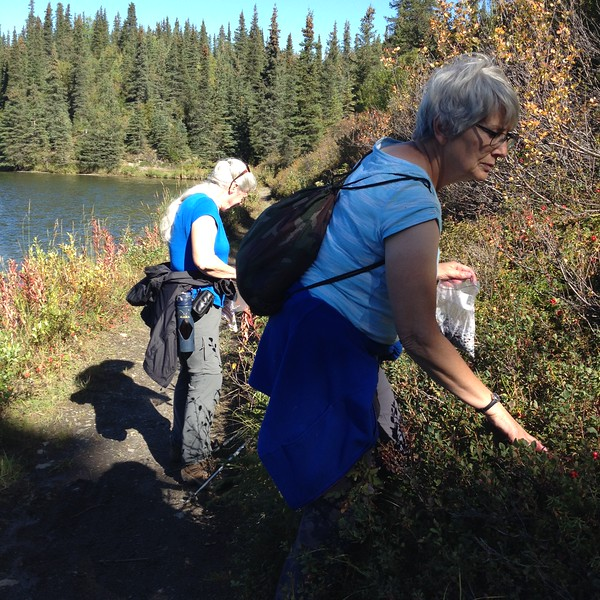 Blueberry picking right from the trail.