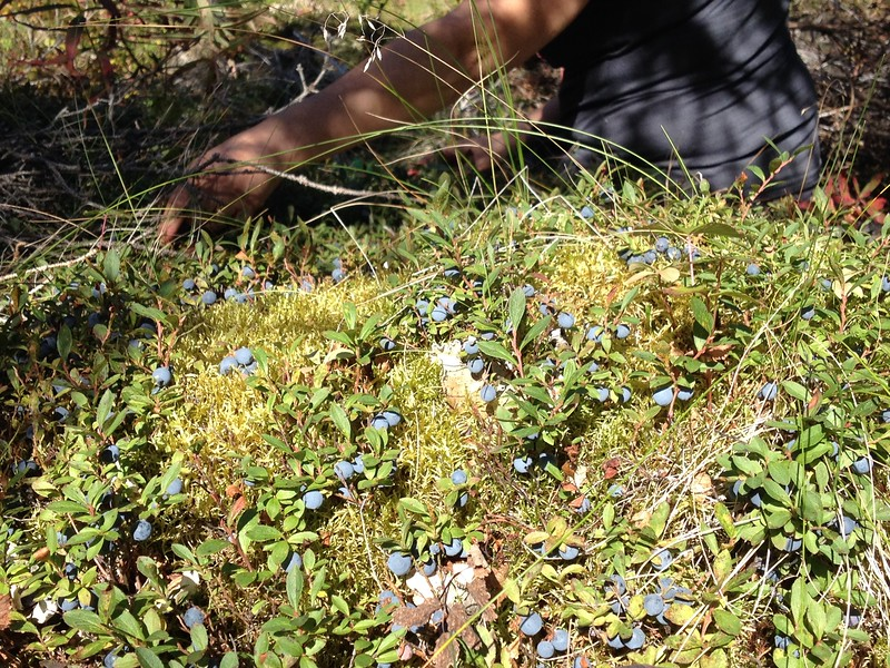 There were so MANY blueberries we took our packs off and started picking.  All four of us could sit in individual spots and pick without moving anything but our hands.