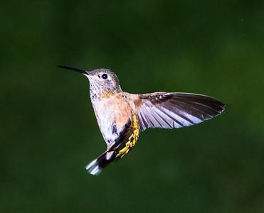 Hummingbirds