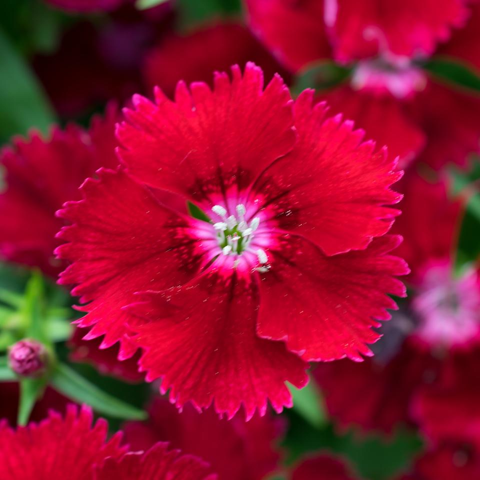 Flowers-Sweet William