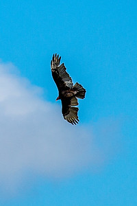 Buzzards-5482