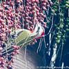 Cuban Green Woodpecker in Acai