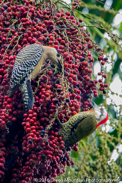 West Indian Woodpecker with Cuban Green Woodpecker in Acai