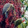 West Indian Woodpecker with Cuban Green Woodpecker in Acai