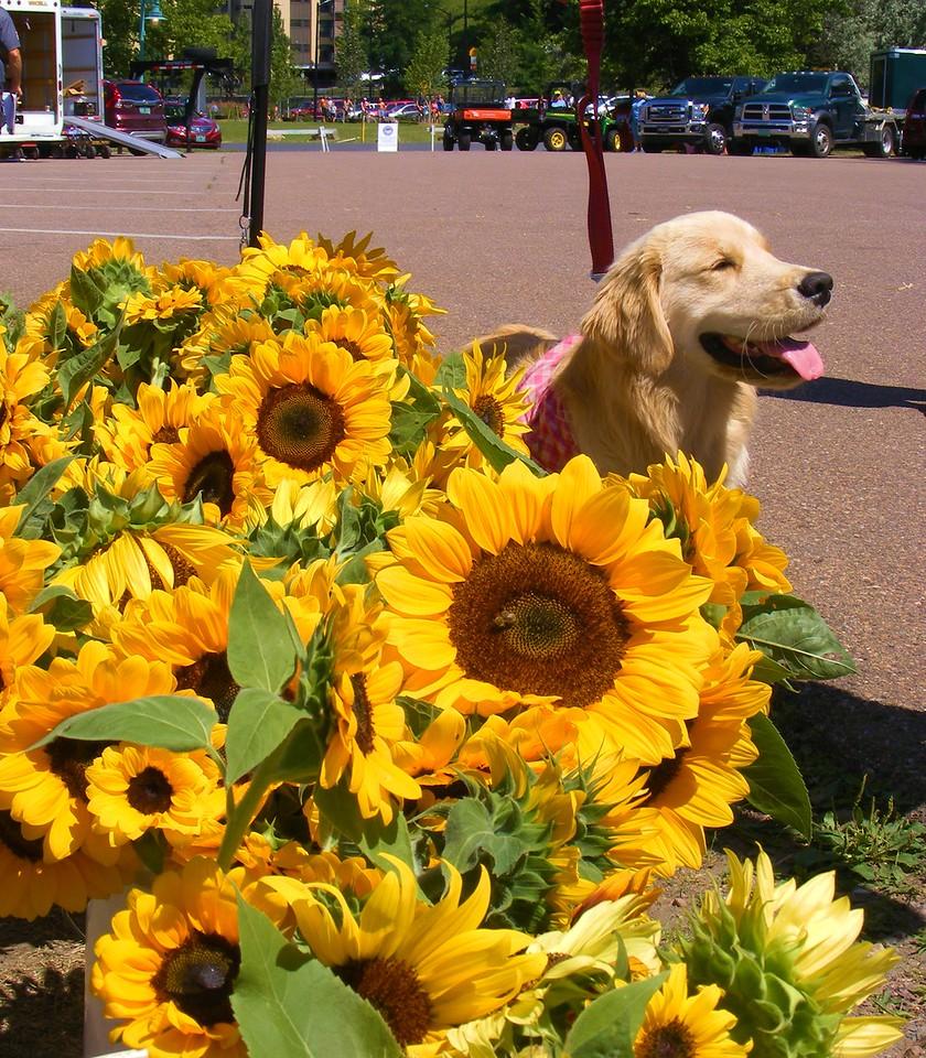 JA-2016-Sunflowers And Helper-500
