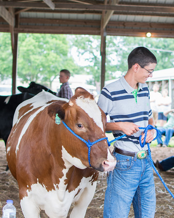 Alex Hartke's dairy cow won Champion Dairy Steer at the Effingam County Fair.<br /> Trent Pearcy photo