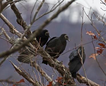 2016 Fall Arkansas Birds