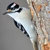 Hairy Woodpecker (M) DSC_0146 Jan 9 2016