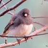 Dark-eyed Junco DSC_1214 Apr 4 2016