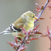 American Goldfinch (F) DSC_1705 May 15 2016