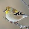 American Goldfinch (M - Winter) DSC_0167 Jan 9 2016