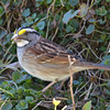 White-throated Sparrow DSC_1352 Apr 30 2016