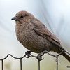 Brown-headed Cowbird (F) DSC_1798 May 17 2016