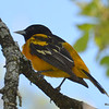 Baltimore Oriole (M) DSC_2005 May 24 2016