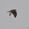 Red-tailed Hawk DSC_0263 Jan 15 2016