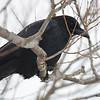 American Crow  DSC_0252 Jan 15 2016
