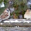 House Sparrow (M & F) DSC_0194 Jan 15 2016