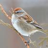 American Tree Sparrow DSC_0120 Jan 9 2016
