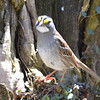 DSC_1375 White-throated Sparrow Apr 30 2016