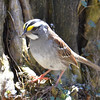 DSC_1376 White-throated Sparrow Apr 30 2016