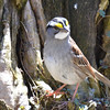 DSC_1374 White-throated Sparrow Apr 30 2016