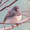 DSC_1215 Dark-eyed Junco Apr 4 2016