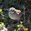DSC_1355 White-throated Sparrow Apr 30 2016
