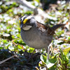 DSC_1357 White-throated Sparrow Apr 30 2016