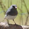 DSC_1364 Dark-eyed Junco Apr 30 2016