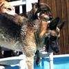IMG_0082 Pool dogs Aug 5 2016