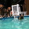 IMG_0085 Pool dogs Aug 5 2016