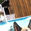 IMG_0075 Pool dogs Aug 5 2016
