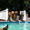 IMG_0073 Pool dogs Aug 5 2016