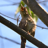 DSC_3199 House Wren Aug 22 2016
