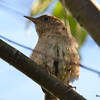 DSC_3202 House Wren Aug 22 2016