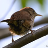 DSC_3194 House Wren Aug 22 2016