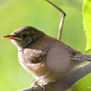 DSC_3190 House Wren Aug 22 2016