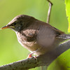 DSC_3191 House Wren Aug 22 2016