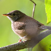 DSC_3189 House Wren Aug 22 2016