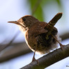 DSC_3193 House Wren Aug 22 2016