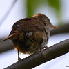 DSC_3195 House Wren Aug 22 2016