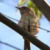 DSC_3203 House Wren Aug 22 2016