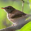 DSC_3188 House Wren Aug 22 2016