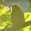 DSC_3183 House Wren Aug 22 2016