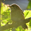 DSC_3185 House Wren Aug 22 2016